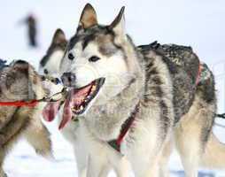 A husky sled dog at work