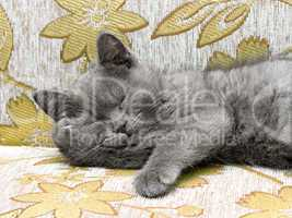 British breed kitten smoky-gray color