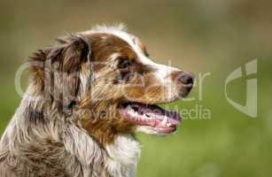 dog, autralian shepherd in a meadow