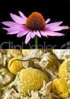 Heilpflanzen Kamille und Echinacea