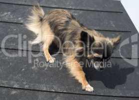chihuahua and agility