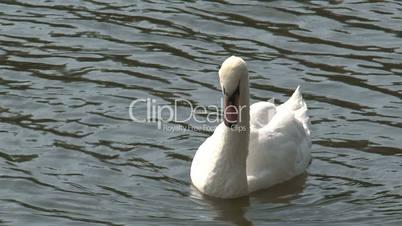 Swan,Prague,Czech Republic