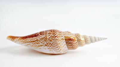 Seashell Hi Key