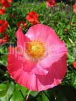beautiful flower of red poppy