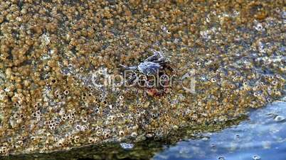 In a rock  crabs  eating