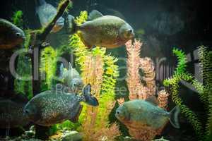 Shoal of tropical piranha fishes in freshwater aquarium