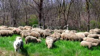 Flock sheeps grazing on the banks of the river, in motion