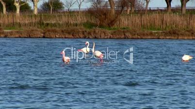 Flock of pink flamingos in lake