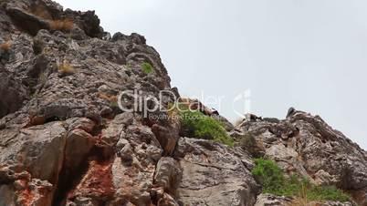 Wild goats in Sa Calobra, Mallorca Island, Spain