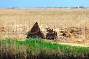 Stacked sheaves of reeds on the field