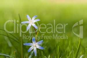 Scilla bifolia (Blausternchen) im Frühling