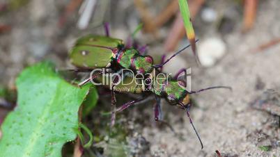 Field Tiger Beetle - pair