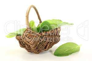 grüner Borretsch