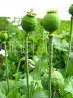 green heads of the poppy