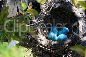 Robin bird nest over the cherry tree horizontal orientation