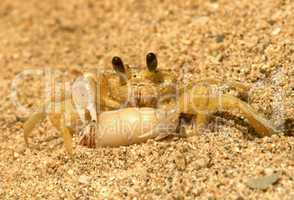 Ghost crab with  herrmit crab