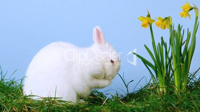 White cute bunny scratching his nose next to daffodils