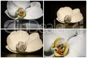 Weisse Orchidee 004