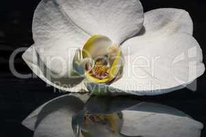 Weisse Orchidee 002