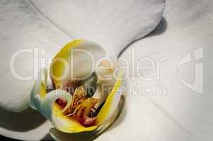 Weisse Orchidee 003