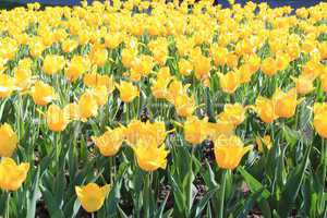 yellow tulips on the flower-bed