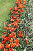 orange tulips on the flower-bed