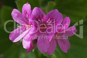 rosa pelargonienblüte