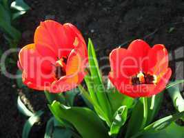 two red tulips on the flower-bed