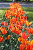 orange tulips on the flower-bed