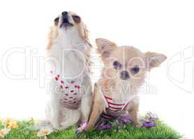 chihuahuas in grass
