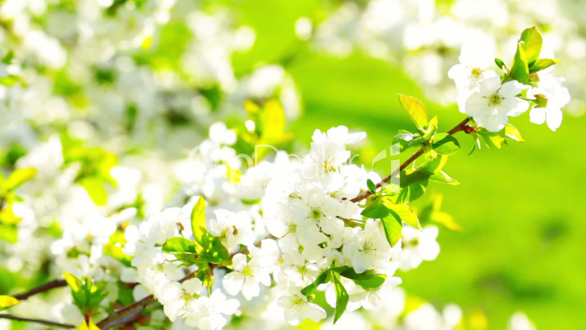 Apricot flowers blooming in spring royalty free video and stock video footage clip apricot flowers blooming in spring dhlflorist Choice Image