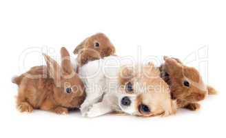 young rabbits and chihuahua