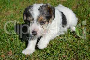 Parson Russell Terrier Welpe