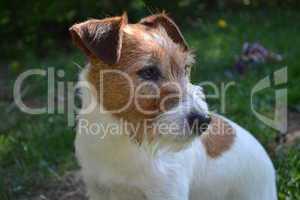 jack russell terrier huendin bonny