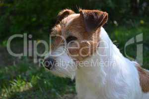 Jack Russell Terrier Dame Bonny