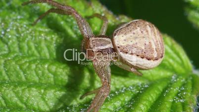 Crab Spider - Thomisidae