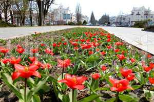 red tulips on the flower-bed