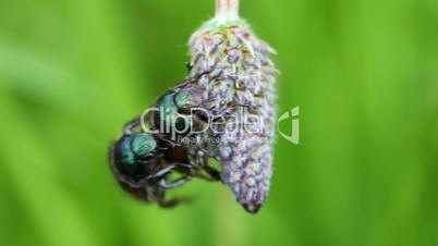 Garden chafer - mating