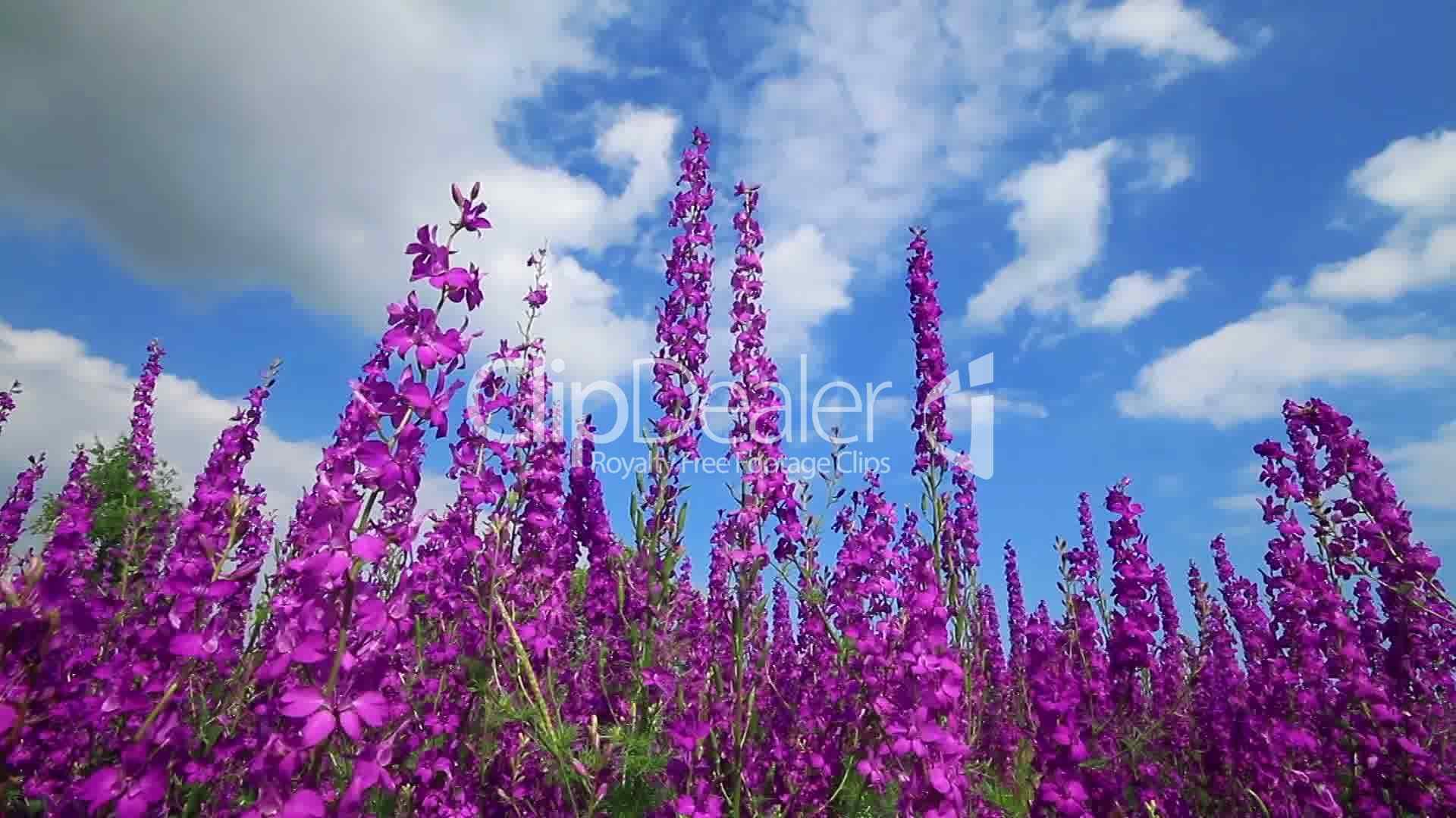 Field Of Pink Flowers And Blue Sky Royalty Free Video And Stock Footage