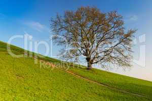 lonely tree in the slope