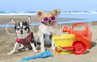 chihuahuas sur les l' plage