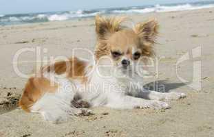 chihuahua sur les l' plage