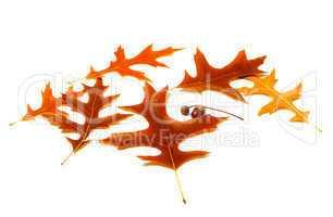autumn leafs of oak and acorns