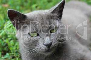 siamese cat in the green grass