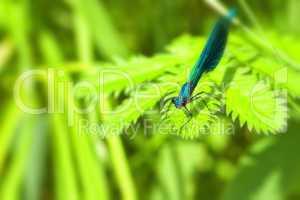 Gebänderte Prachtlibelle - Calopteryx splendens