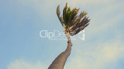 palm tree blowing