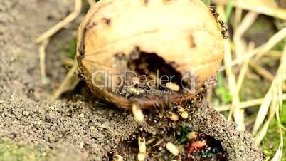Ants save eggs