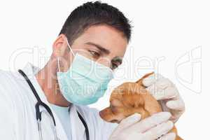 Male vet holding and examining the ear of a chihuahua