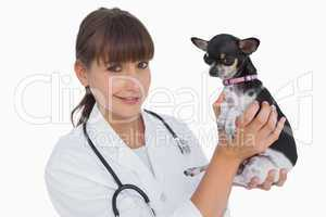 Cheerful vet holding a chihuahua