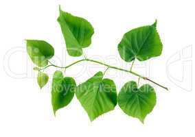 Green Leaves Twig